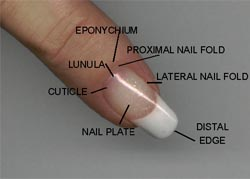 Eponychium is the visible part of the proximal nail fold that appears    Eponychium